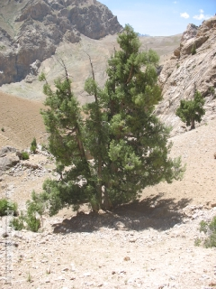 Juniper tree - tripod of Guru Rinpoche