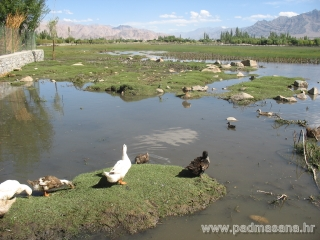 Duck pond in front  of Shey monastery